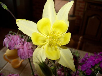 Ancolie jaune
