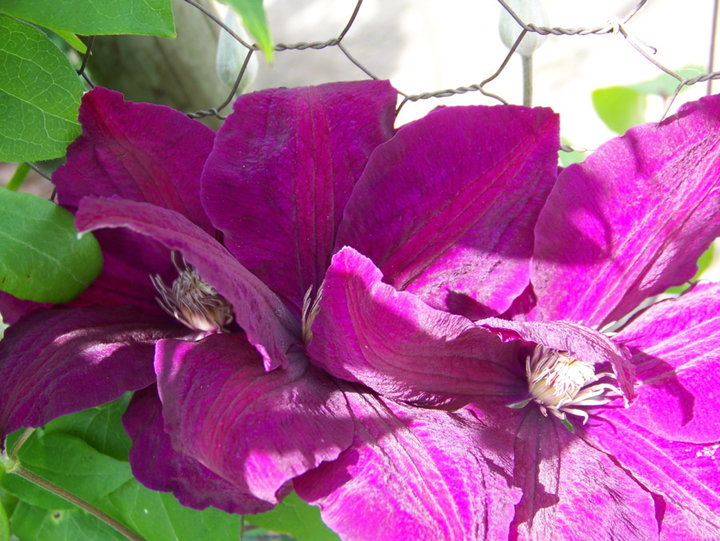 Clématite-visoflora-violette
