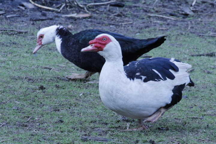 Couple de Canard Barbarie (( ou canard d'inde ))