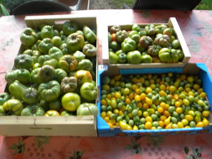 Dernière récolte tomates