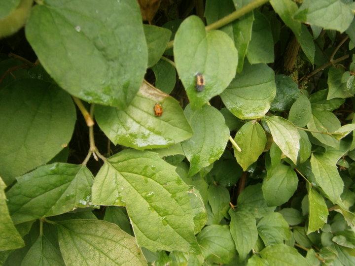 insectes nuisibles legumes album photos plantes fruits et l gumes. Black Bedroom Furniture Sets. Home Design Ideas