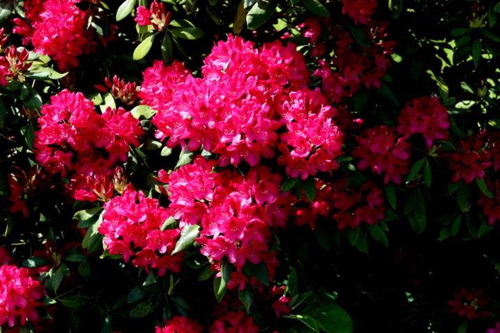 Fleur de mon rhodo
