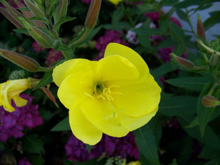 fleurs jaune (OENOTHERA BIENNIS