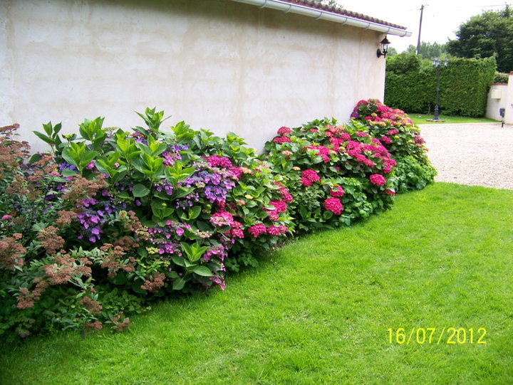 Floraison d'hortensias