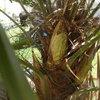 Trachycarpus Fortenea