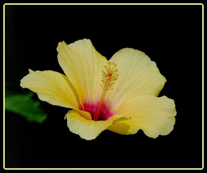 L'hibiscus jaune