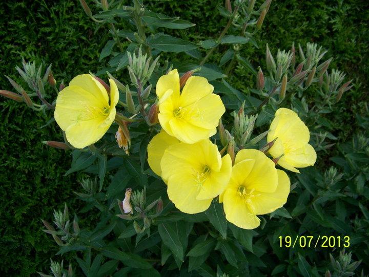 Oenothera- bienis