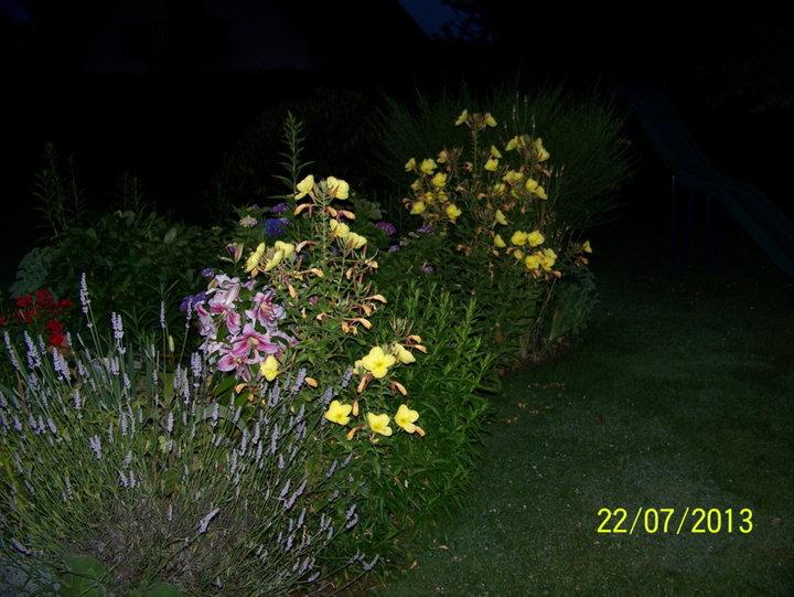 Oenothera_bienis