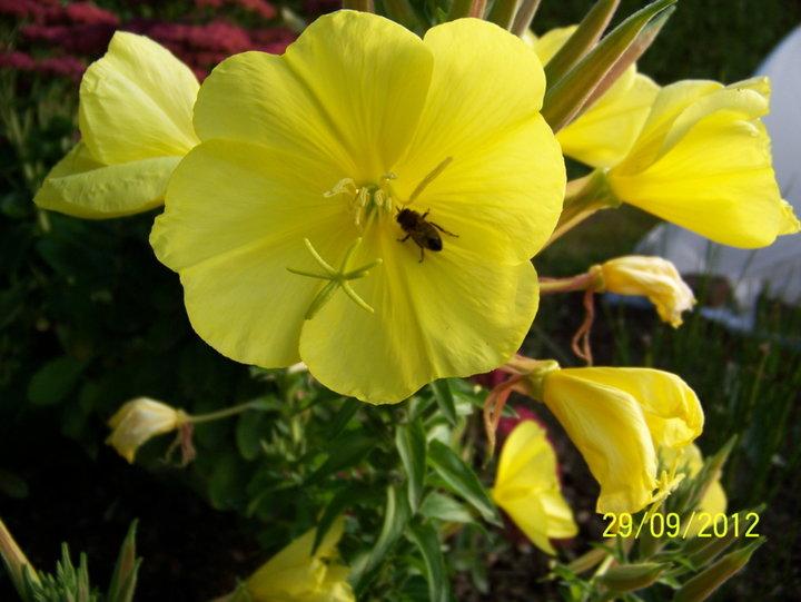 Oenothera--biennis