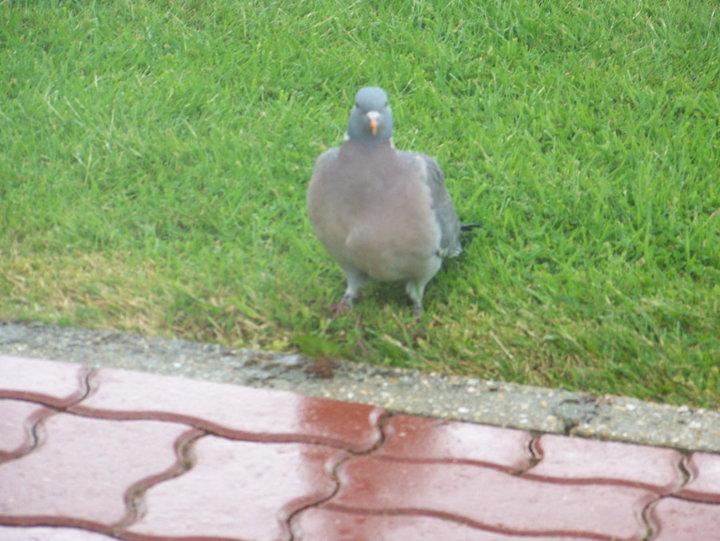 Pigeon ramier  (pigeon sauvage)