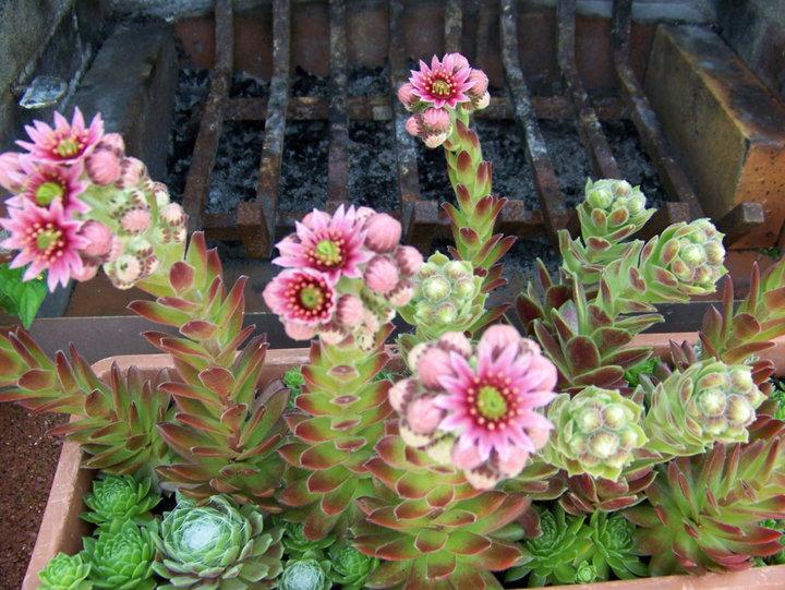 fleurs et arbustes d 39 ornement album photos mon jardin. Black Bedroom Furniture Sets. Home Design Ideas