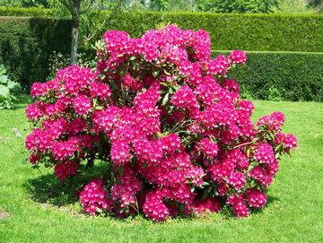 Rhododenderon