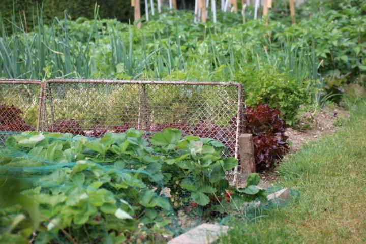 Salade oignons fraisiers
