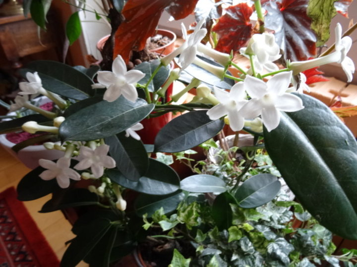 Stephanotis putih