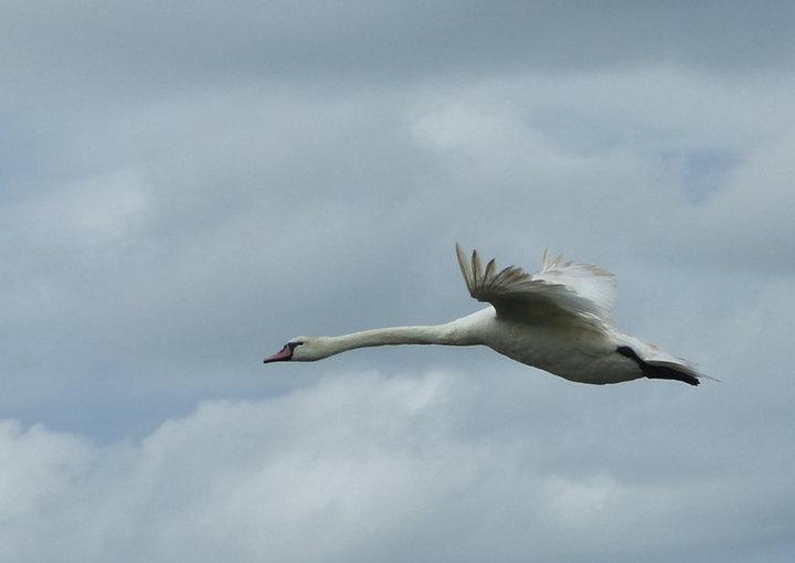 Vol de cygne