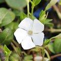 Petite pervenche blanche - Vinca minor 'Alba'