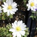 Anemona blanda 'White Splendor' - Anémone de Grèce