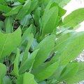Menthe coq - Tanacetum balsamita