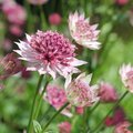 Astrante major 'Roma' - Astrantia