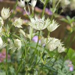 Astrante major 'Princesse Sturdza' - Astrantia