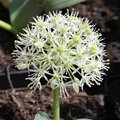 Allium karataviense 'Ivory Queen' - Ail du Turkistan