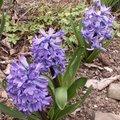 Jacinthe - Hyacinthus