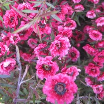 Leptospermum scoparium myrte de nouvelle z lande for Myrte arbuste
