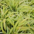 Hakonechloa macra 'All Gold' - Herbe du Japon