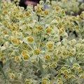 Euphorbe characias 'Emmer Green' - Euphorbia