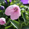 Platycodon grandiflorus 'Perlmutterschale' - Fleur ballon