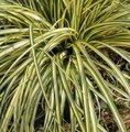 Carex oshimensis 'Evergold' - Laîche
