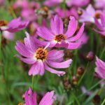 Coréopsis grandiflora 'Limerock Passion'