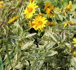 Heliopsis 'Summer Green'