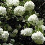Boule de neige - Viorne - Viburnum opulus