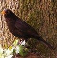 Merle noir - Oiseau