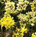 Dendrobium (phalaenopsis) - Orchidée