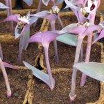 Misère pourpre - Setcreasea purpurea - Tradescantia pallida 'Purpurea'