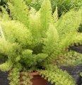 Asperge ornementale - Asparagus sprengeri