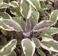 Sauge officinale 'Tricolor' - Salvia officinalis