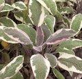 Sauge officinale 'Tricolor' - Salvia officinalis