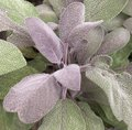 Sauge officinale 'Purpurascens' - Salvia officinalis