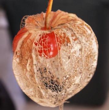 Amour en cage physalis coqueret du p rou lanterne japonaise ou chinoise - Fruit cage d amour ...