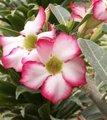 Rose du désert - Adenium obesum