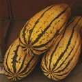 Courge 'Delicata' - Courge 'Sweet Potato'