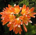 Clivia miniata - Clivia vermillon