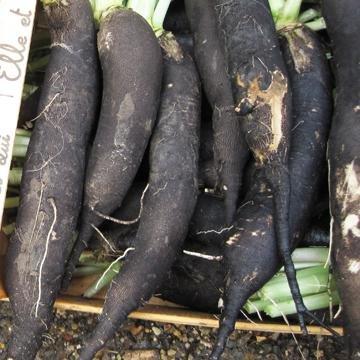 Radis noir d 39 hiver de chine raphanus niger - Radis rose d hiver de chine ...