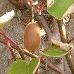 Kiwi - Actinidia