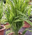 Asparagus plumosus - Asparagus des fleuristes