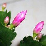 Cactus de Noël - Epiphyllum - Schlumbergera