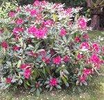 Rhododendron - Rhododendron ne fleurit pas ...